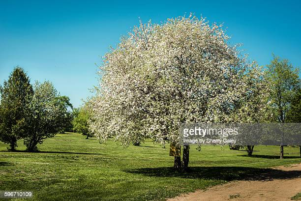 Apple tree covered in blossoms
