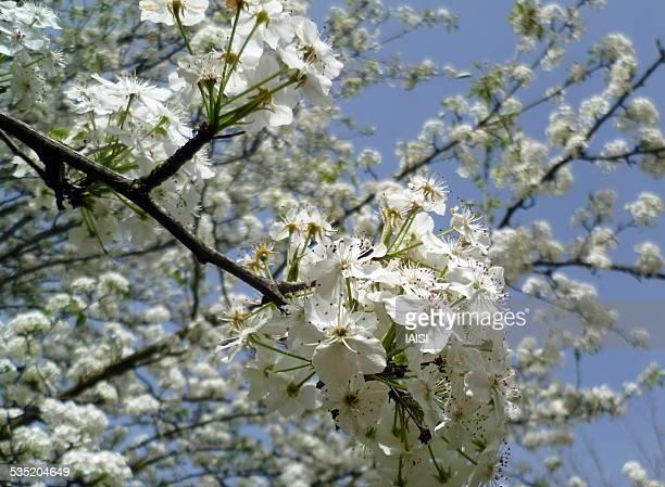Apple tree flowers in the Hulah valley