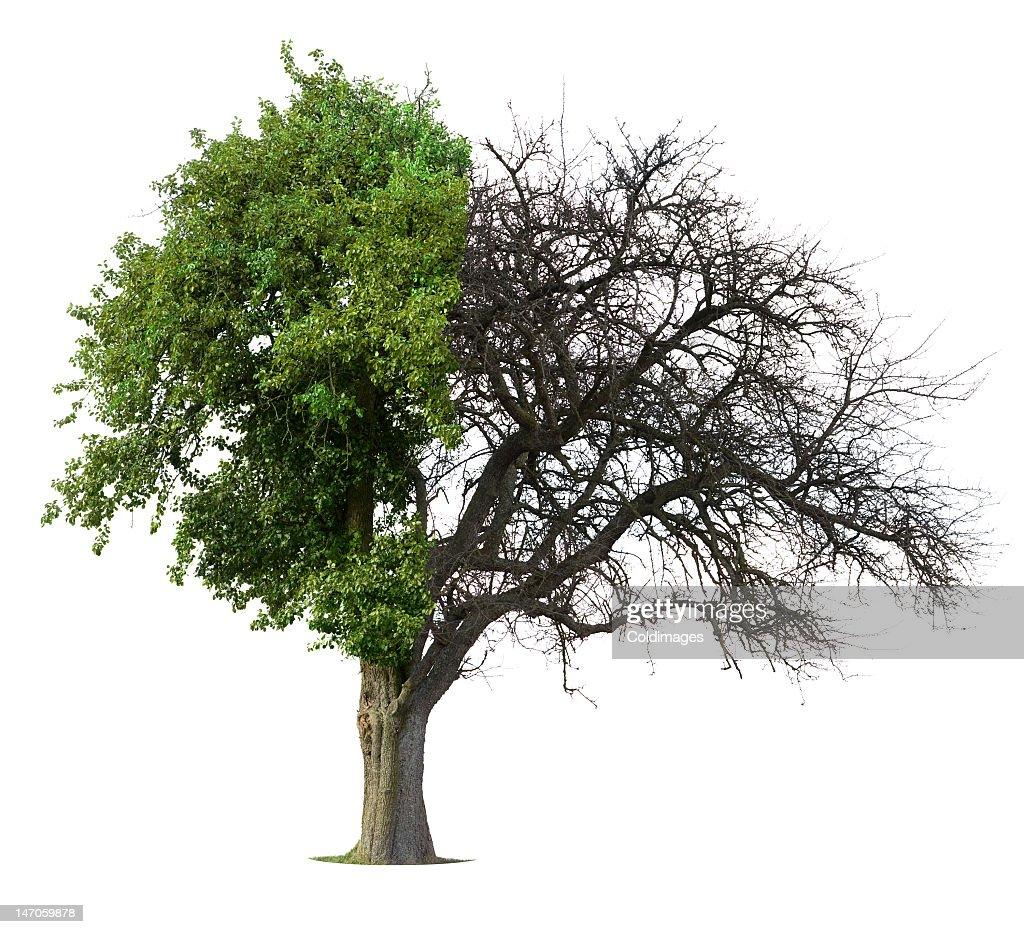 Apple Tree Half Alive Half Dead On White Background Stock Photo