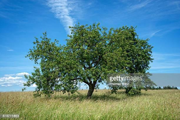 Apple tree in a field in springtime