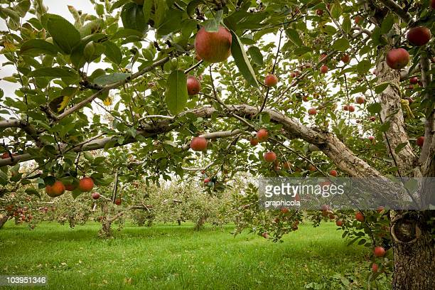 Apple tree in an orchard