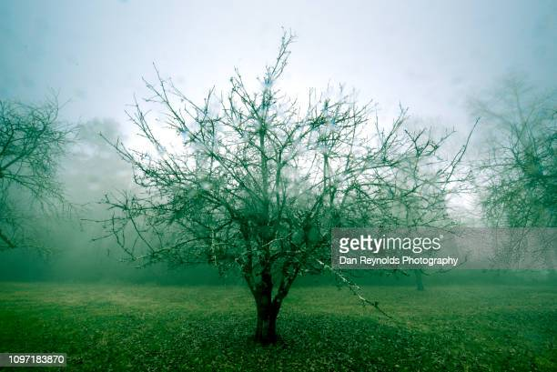 Apple Tree in Fog