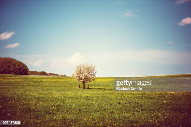 Apple tree in full blossom on a meadow in spring