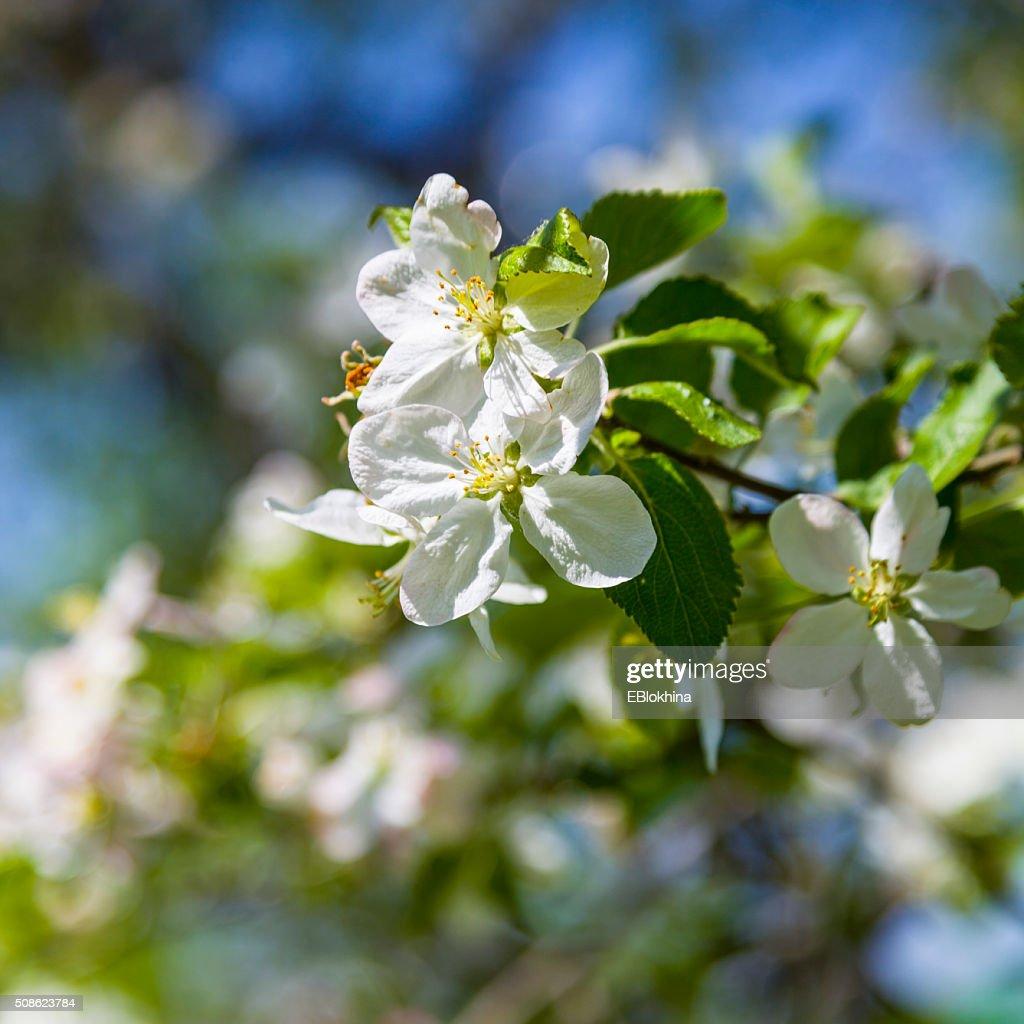 Apple tree in spring day : Stock Photo