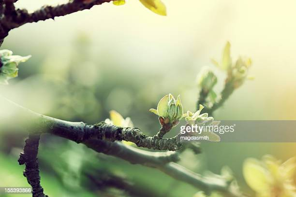 apple tree in spring - bud stock pictures, royalty-free photos & images