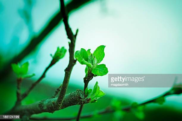 apple tree in spring - magdasmith stock pictures, royalty-free photos & images