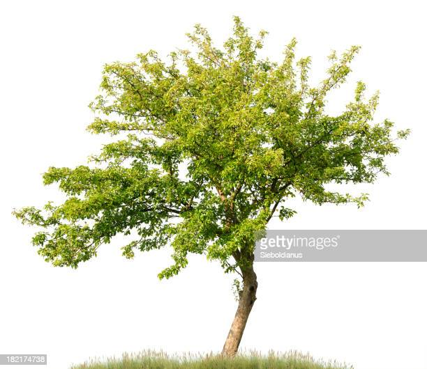 Apple tree in summer isolated on white (Malus domestica).