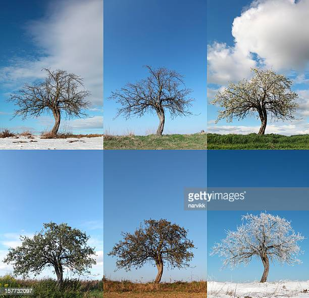 apple tree in various seasons - four seasons stock pictures, royalty-free photos & images