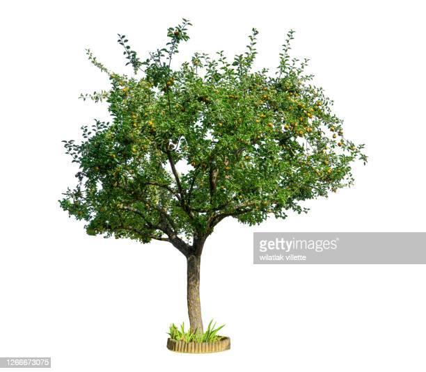 apple tree on a white background. - apfelbaum stock-fotos und bilder