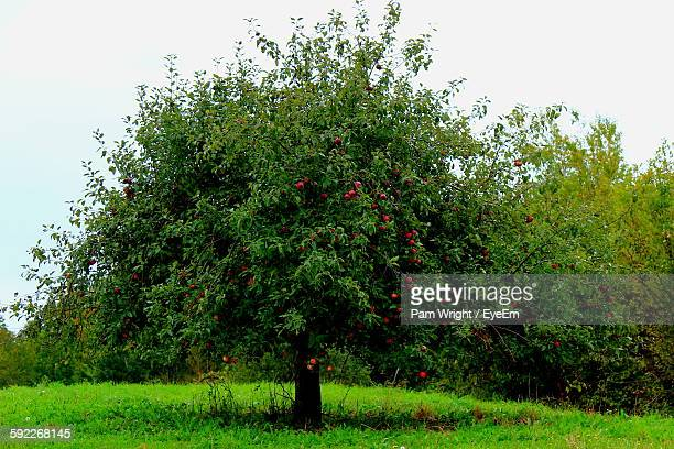 Apple Tree On Grassy Field