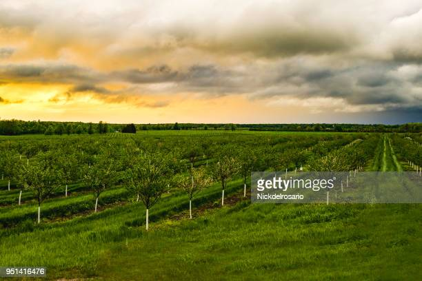 apple tree orchard during a sunset - fruit tree stock pictures, royalty-free photos & images