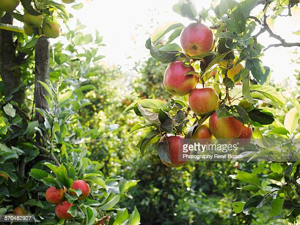 apple tree orchard during the harvest. - appelboom stockfoto's en -beelden