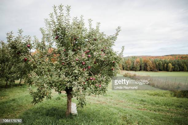 apple tree - appelboom stockfoto's en -beelden