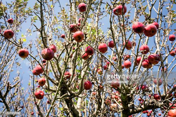 apple tree - cider stock pictures, royalty-free photos & images