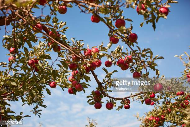 apple tree - heshphoto stock pictures, royalty-free photos & images
