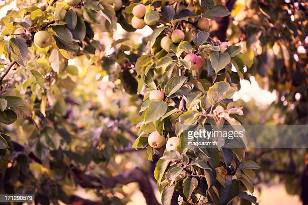 apple tree - magdasmith stock pictures, royalty-free photos & images