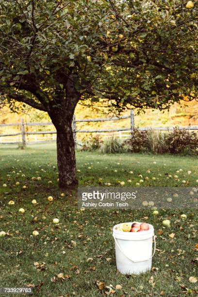 Apple tree surrounded by fallen apples, bucket full of apples in foreground