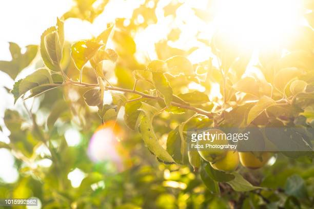 apple tree with apples - appelboom stockfoto's en -beelden