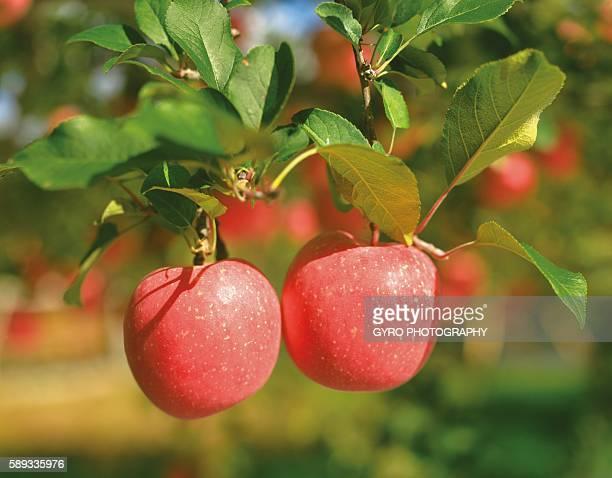 Apple Trees, Aomori Prefecture, Japan
