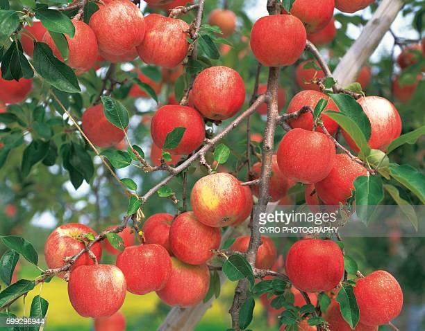 Apple Trees, Aomori Prefecture, Japan.