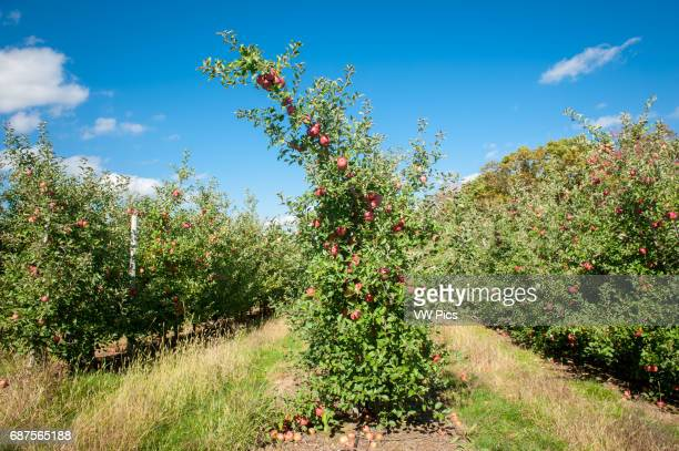 Apple trees at an orchard in Cashtown Pennsylvania USA
