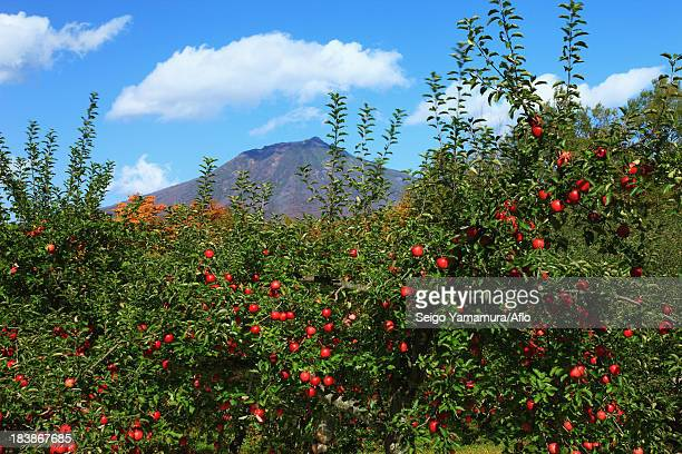 apple trees at mount iwaki, aomori prefecture - aomori prefecture stock pictures, royalty-free photos & images