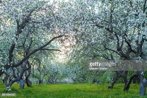 Apple trees blossoming