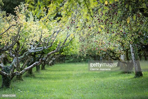 Apple Trees, Burgundy, France, 2015