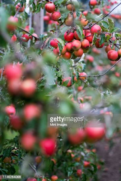 apple trees in an organic orchard garden in autumn, red fruits ready for picking on branches of espaliered fruit trees. - fruit tree stock pictures, royalty-free photos & images