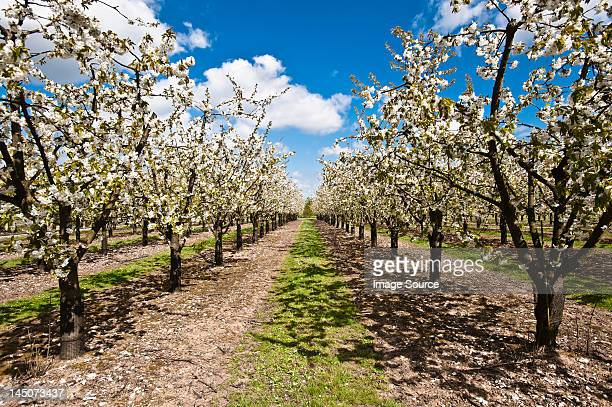 apple trees in blossom in orchard - orchard stockfoto's en -beelden