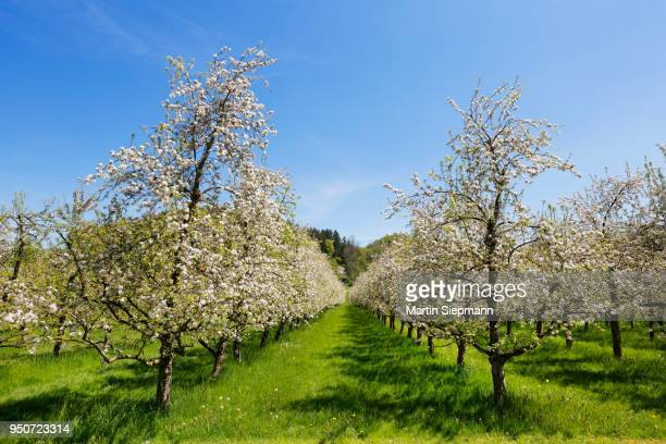 Apple (Malus sp.) trees in blossom, orchard, Deggenhausertal, Upper Swabia, Swabia, Baden-Wuerttemberg, Germany