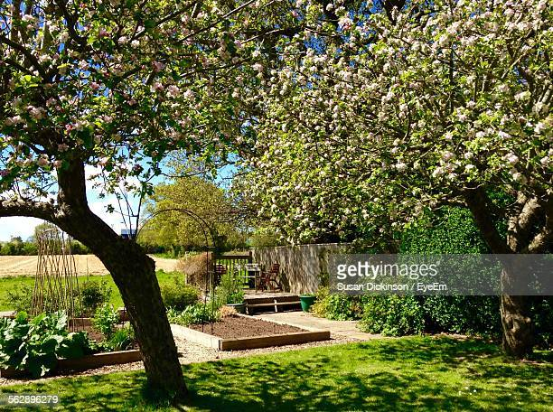 apple trees in garden - apple tree stock pictures, royalty-free photos & images