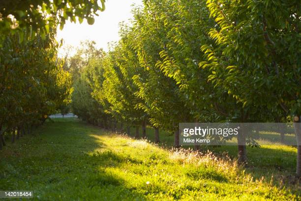Apple trees in orchard