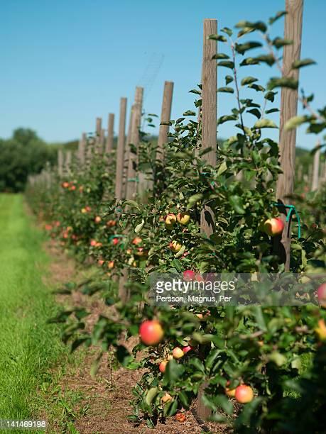 Apple trees in plantation