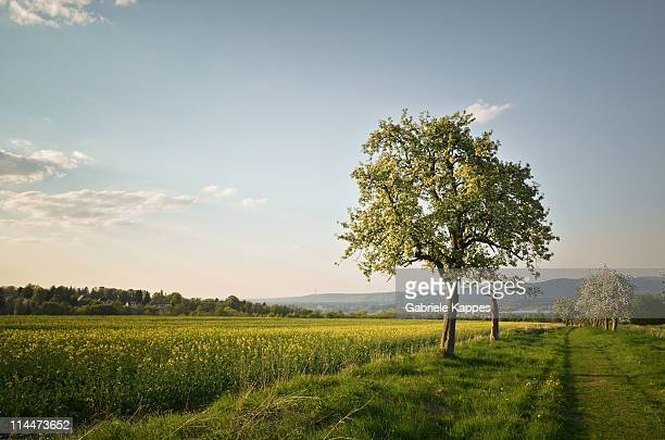 apple trees - appelboom stockfoto's en -beelden