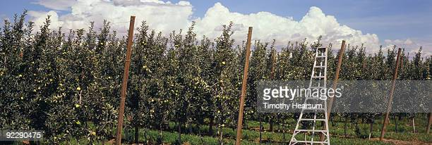 apple trees with orchard ladder - timothy hearsum ストックフォトと画像