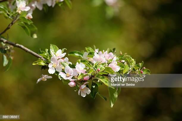 Applebossom in spring
