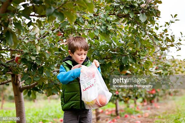 apple-picking boy at  local orchard - snickerdoodle stock pictures, royalty-free photos & images