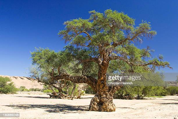 Apple-ring Acacia or Ana Tree (Faidherbia albida, Acacia albida) in the dried-up riverbed of the Aba Huab River, Damaraland, Namibia, Africa