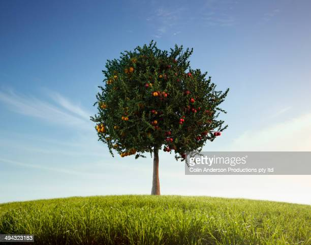 Apples and oranges growing on tree