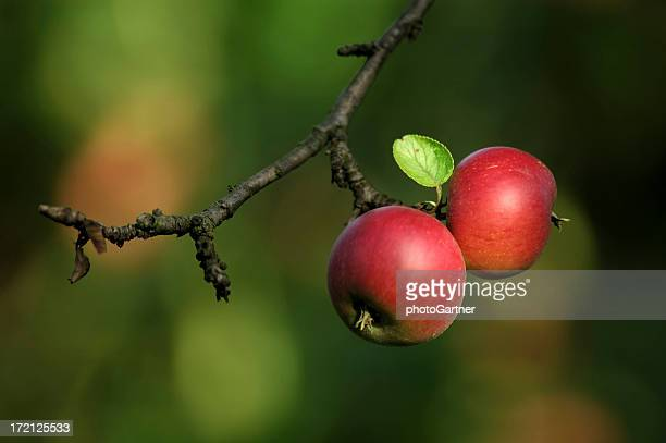 Apples and Tree
