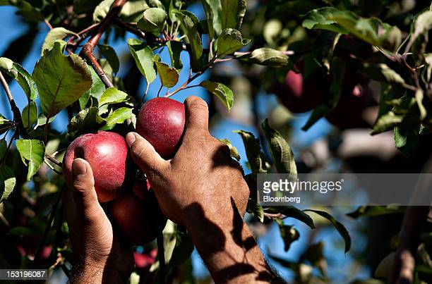 Apples are picked at a Royal J Klein Son's orchard that will complete harvest over a month earlier than normal in Conklin Michigan US on Wednesday...