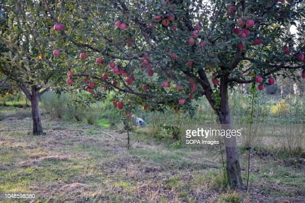 Apples are seen on a tree in an orchard in Pulwama during the apple harvest. Kashmir is the prime source of all apple production in India where there...