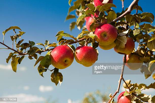 apples at the orchard - appelboom stockfoto's en -beelden