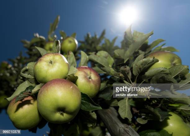 Apples can be seen on a tree near Ludwigshafen at the Bodensee Lake Germany 18 August 2017 After the frost damages in the spring 2017 the farmers...