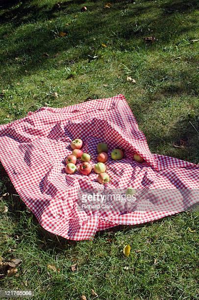 Apples collected onto blanket in garden, Rupert's Garden, September
