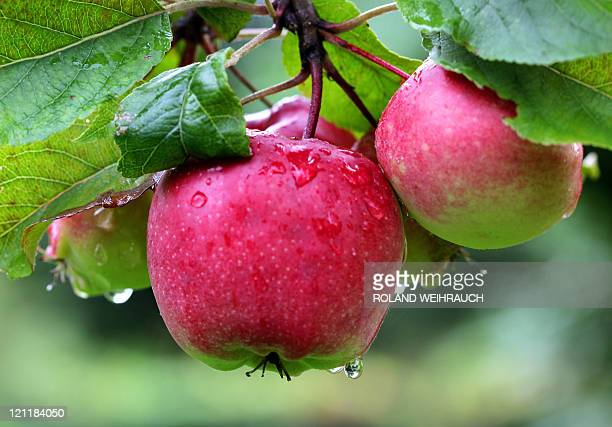 Apples covered in rain drops are pictured at an orchard near the western German city of Moers on August 9 2011 Germany is experiencing a few wet...