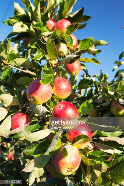 apples growing in an orchard near pershore, vale of evesham, worcestershire, uk. - fruit laden trees stock pictures, royalty-free photos & images