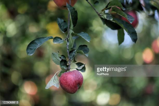 Apples growing on a Tree in an Orchard on the outskirts of Sopore Town, District Baramulla, Jammu and Kashmir, India on 14 October 2020.