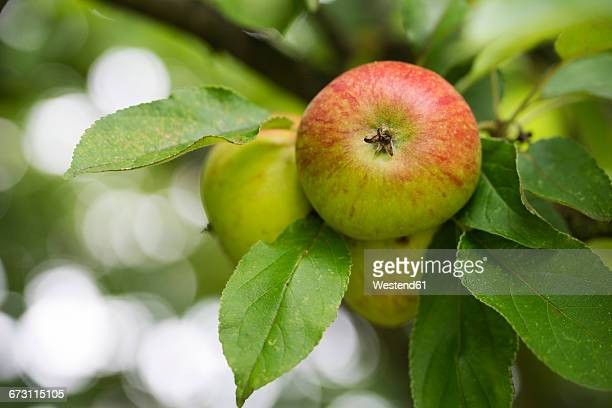Apples growing on tree, close-up